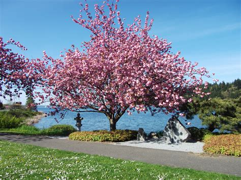 japanese trees cherry tree www pixshark com images galleries with a bite