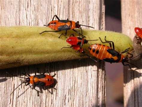 Garden Bug by Milkweed Bugs