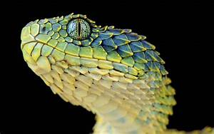 Wallpaper : animals, snake, yellow, reptiles, Lizard ...