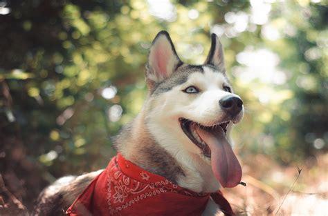 wallpaper husky dog cute animals funny animals
