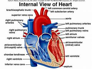 Anatomy Of The Heart - L U0026 39 Italoeuropeo
