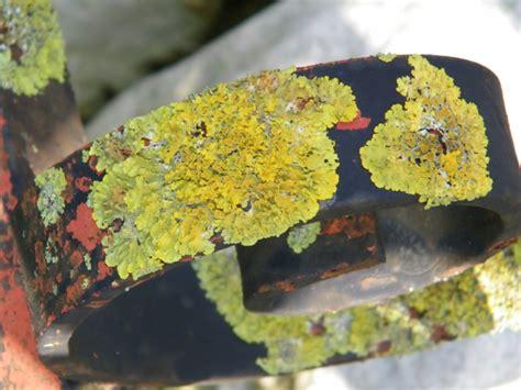ringhiera metallica licheni su ringhiera metallica forum natura mediterraneo