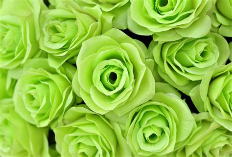 green roses wallpaper  offices wall decor