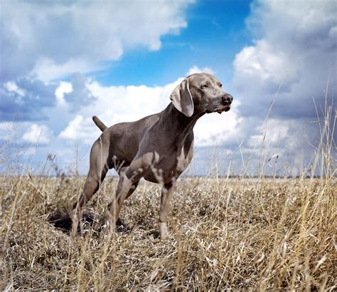 do blue weimaraners shed pointing breed of the week the weimaraner part 2