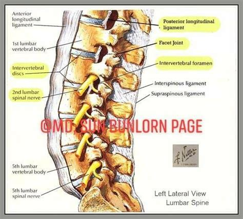 All of these things can lead to long term back pain (and chronic complaining!). Anatomical Name Of Lower Back Muscles : Muscles of the Arm ...