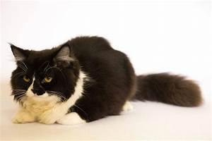 Toxoplasmosis in cats - Homevet