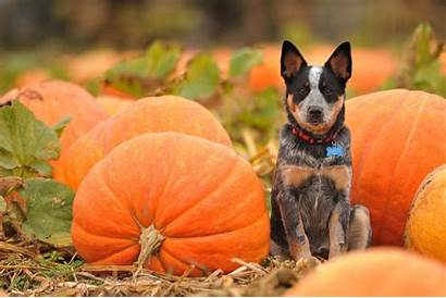 Halloween Pumpkin Autumn Dogs Dog Wallpapers Fall