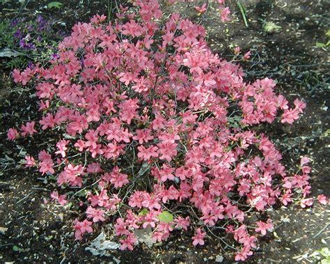 planter un rhododendron en pot 28 images cultiver l azal 233 e des fleuristes assortment