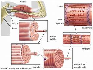 striated muscle: structure -- Kids Encyclopedia | Children ...