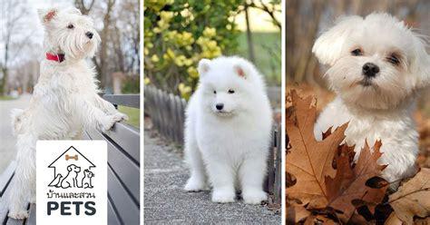 8 สุนัขสายพันธุ์ขนสีขาว ที่น่ารักราวกับตุ๊กตาหิมะที่มี ...