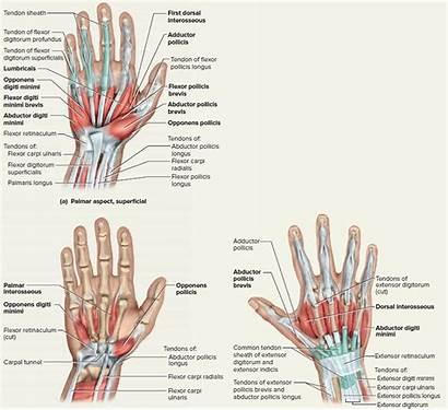 Tendons Hand Tendon Wrist Tendonitis Fingers Diagram