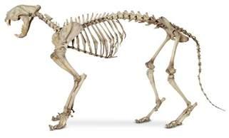 cat bones cat anatomy cat skeleton dk find out