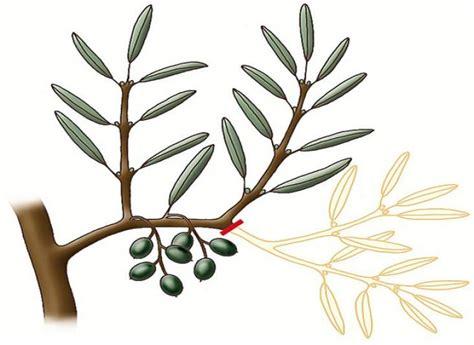 taille d un olivier en pot 1000 id 233 es 224 propos de jardinage en pots sur