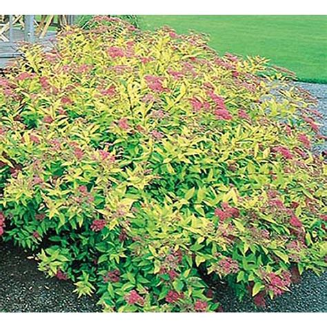 shrub image shop 2 gallon pink goldflame spirea flowering shrub l8408 at lowes com