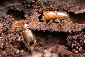 Insecte Qui Mange Le Bois : comment traiter scolyte la r ponse est sur ~ Farleysfitness.com Idées de Décoration