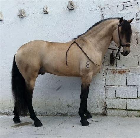 lusitano bayo andalusian horse buckskin horses cross uploaded user
