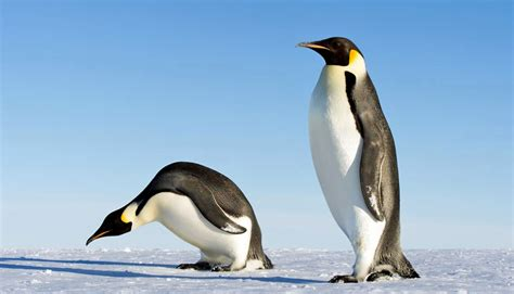 Ice Age Penguins