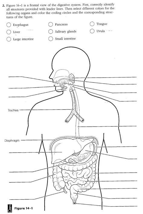 digestive system labeling worksheet worksheets for all