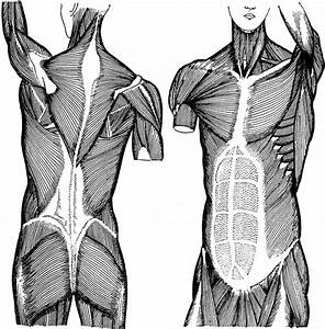 Trunk Muscles