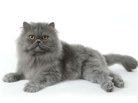 gatti persiani a pelo corto persiano razze feline