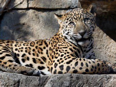 Jaguars Az by After A Jaguar Attacked A Attempting To Take A