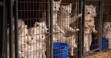 update aspca begins placing dogs seized  iowa puppy