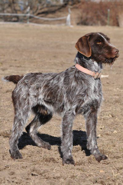 Idaho Outback Wirehaired Pointing Griffons Hunting Dog Breeders