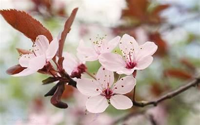 Blossom Cherry Japanese Desktop