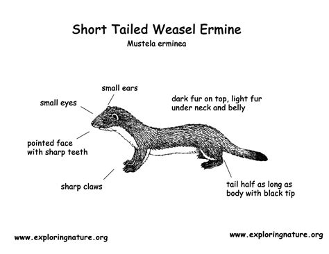 weasel short tailed  ermine