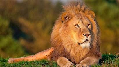 Wallpapers Jungle Lions King Wildlife Lion African