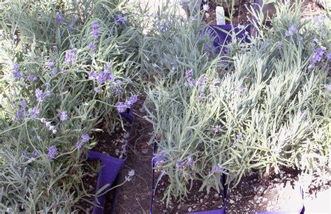 planting lavender plants discover lavender