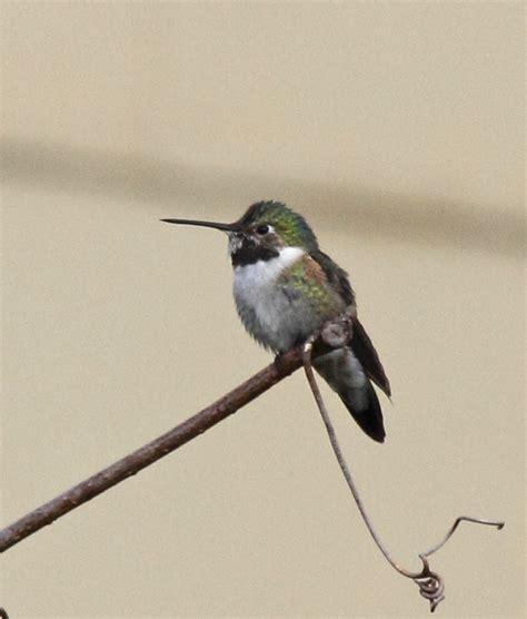philly bird nerd rare hummingbird in nj