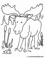 Moose Coloring Pages Colormountain Duck Cattails sketch template