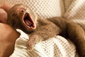 Baby sloth yawning!!! | Animal Photography | Pinterest
