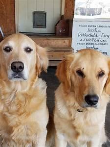 golden retriever puppies for sale il 170607
