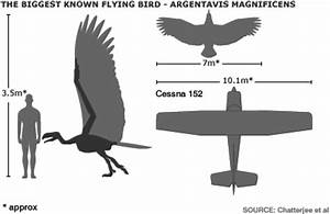 Argentavis-Magnificens-measurements