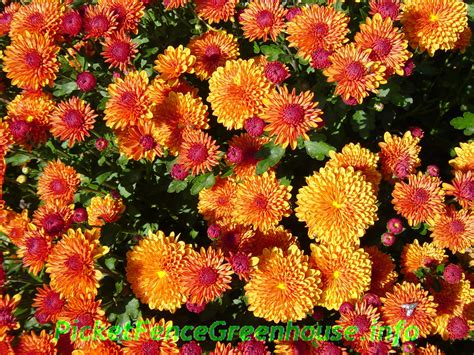 mums in how to grow mums planting fertilizing pinching transplanting picket fence greenhouse gardens