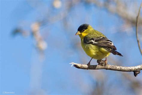 lesser goldfinch celebrate urban birds