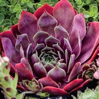 hens and plant for sale el toro sempervivum quot large rosettes with some of the most sumptuous color in hens and chicks