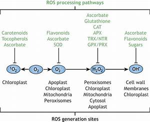 Reactive Oxygen Species In Plant Development