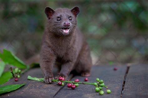 Civet coffee: why it?s time to cut the  ? Focusing on Wildlife