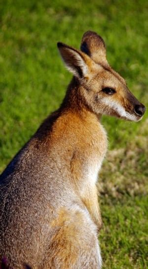 royalty  kangaroo images peakpx