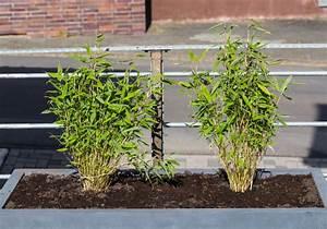 Bambus Pflanzen Kübel : zergbambus im k bel so gedeiht er pr chtig ~ Frokenaadalensverden.com Haus und Dekorationen