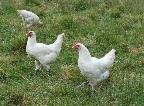 cuisine chapon poulet wikipédia
