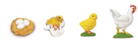 siege oeuf cycle of a chicken 4 models e o montessori