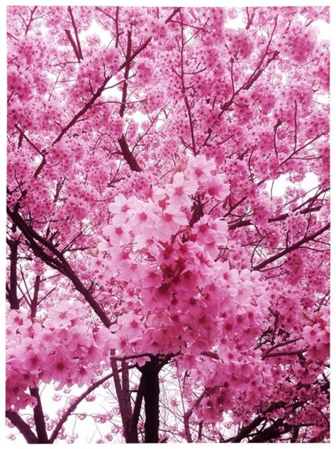 japanese trees with pink flowers 25 best ideas about japanese cherry tree on pinterest japanese cherry blossoms japanese