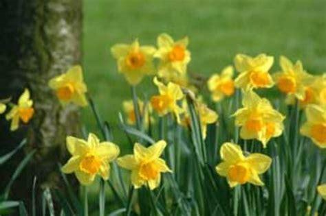 growing daffodils thriftyfun