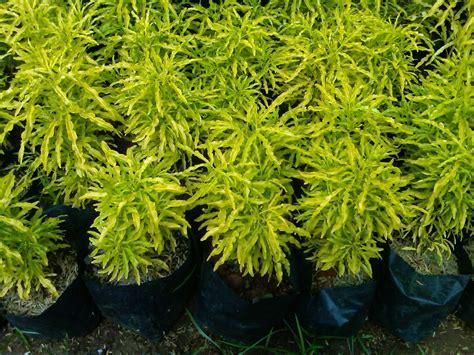 brokoli kuning murah aneka tanaman hias tukang taman