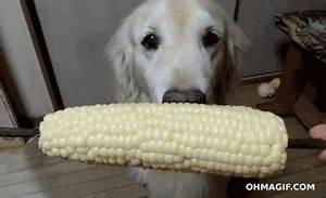 funny dog loves eating corn cob