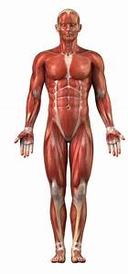 Muscular System Diagram Unlabeled   Muscular System